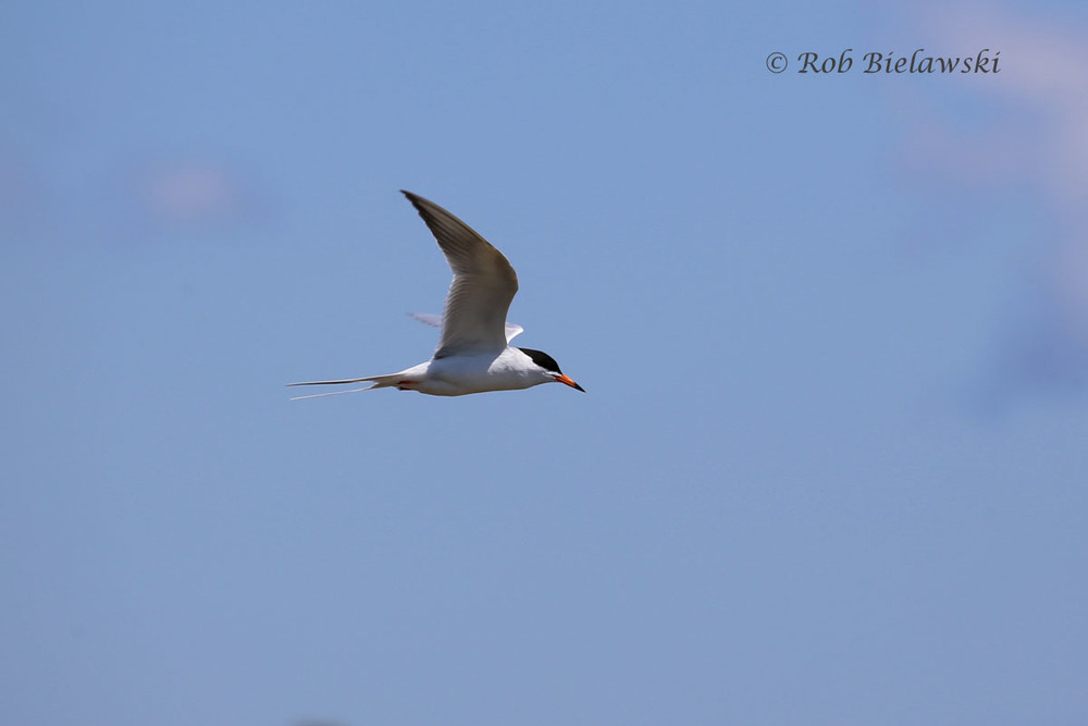 A Forster's Tern searching for fish in the shallow waters of a freshwater pool.