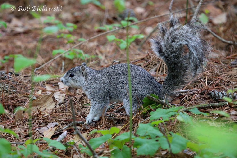 The endangered, and adorable, Delmarva Fox Squirrel!