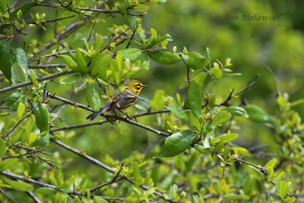Beautiful male Prairie Warbler seen at Back Bay NWR!