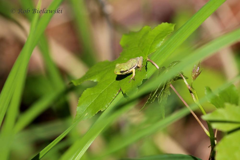 Green Treefrog resting on a leaf!