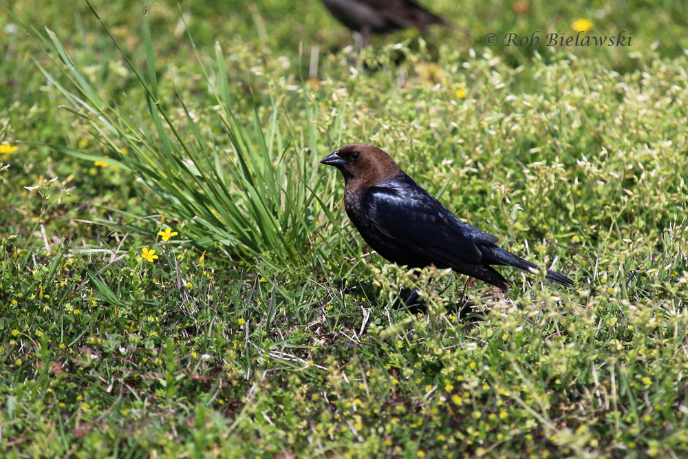 Brown-headed Cowbird male at Back Bay NWR!