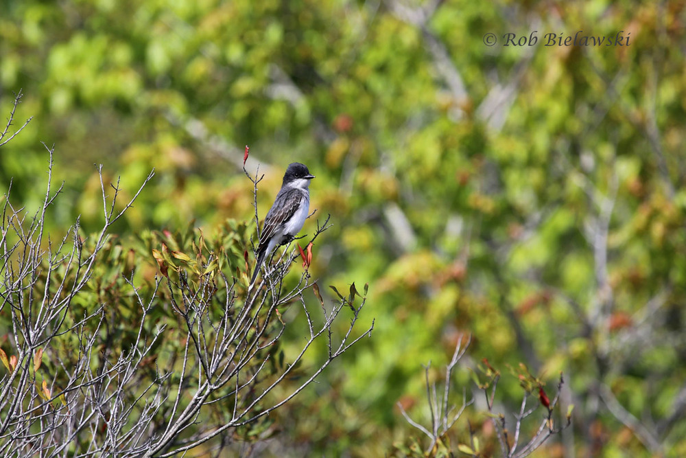 First Eastern Kingbird of the season at Back Bay NWR!