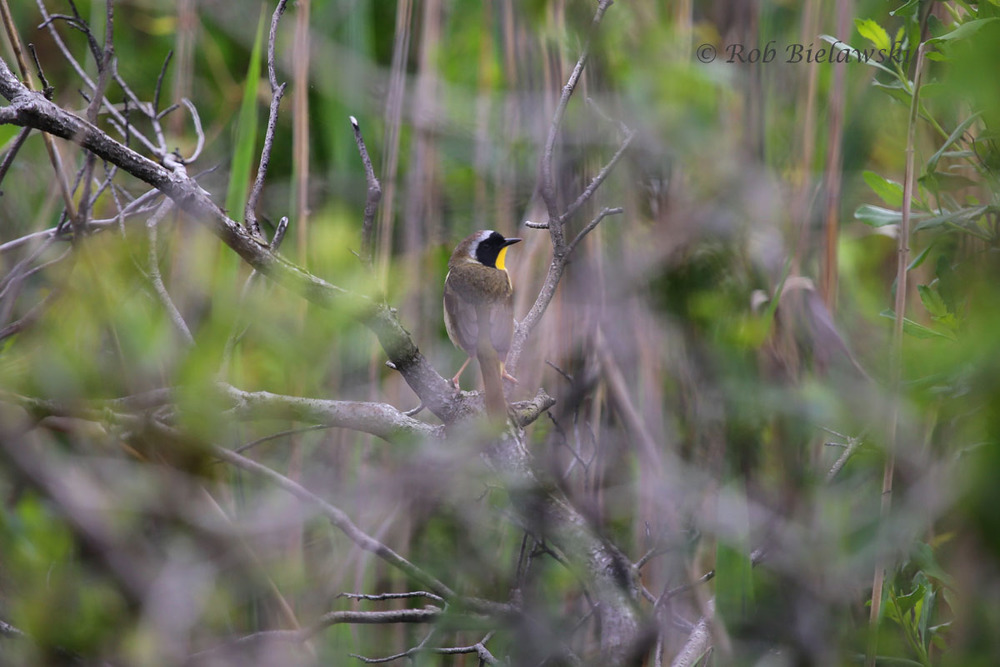 Common Yellowthroat (warbler species) at Back Bay NWR.