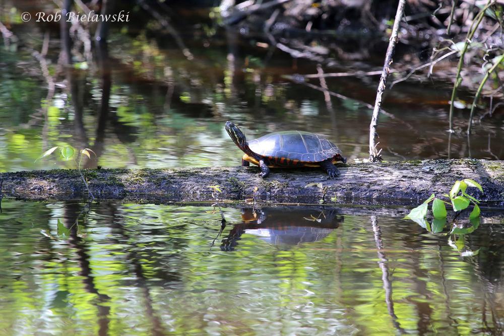 Turtle at Great Dismal Swamp NWR