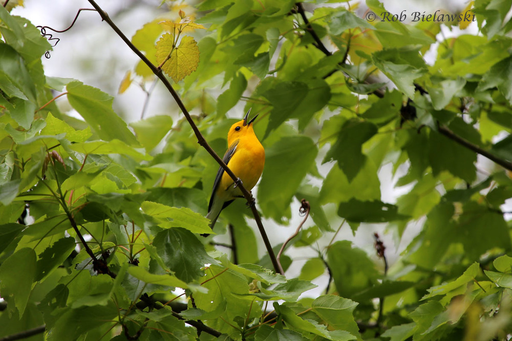 First Prothonotary Warblers of the season at Great Dismal Swamp NWR!