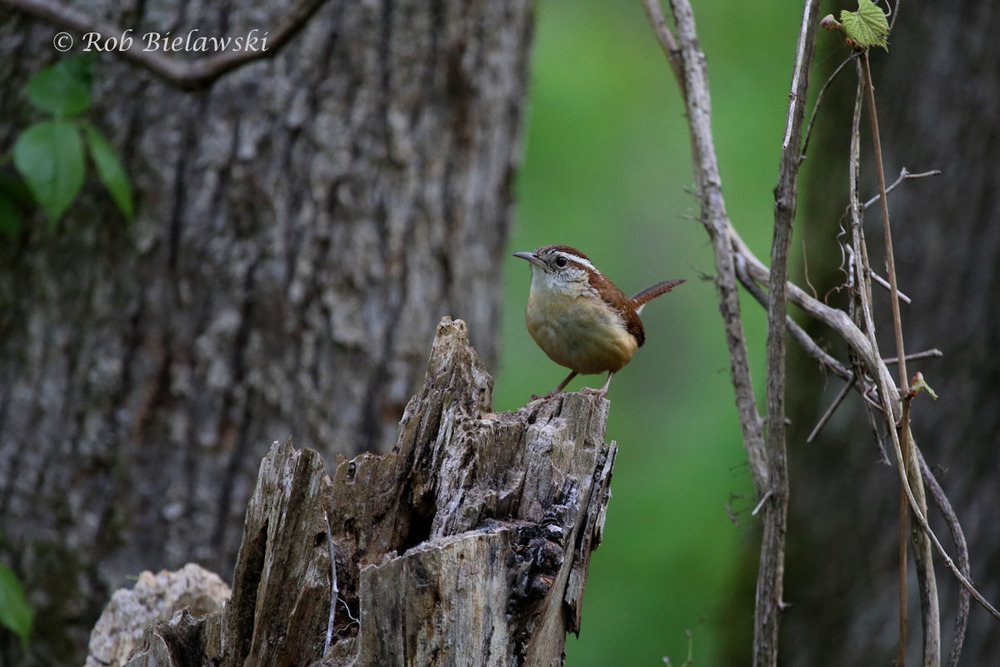 Carolina Wren uncharacteristically sitting still long enough to be photographed.