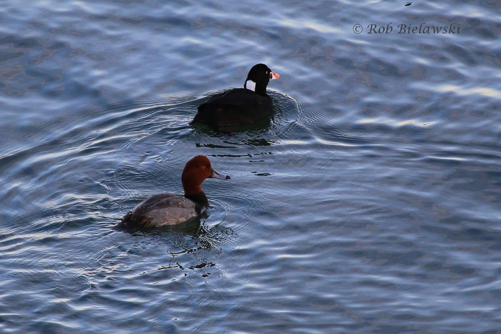 Redhead & Surf Scoter