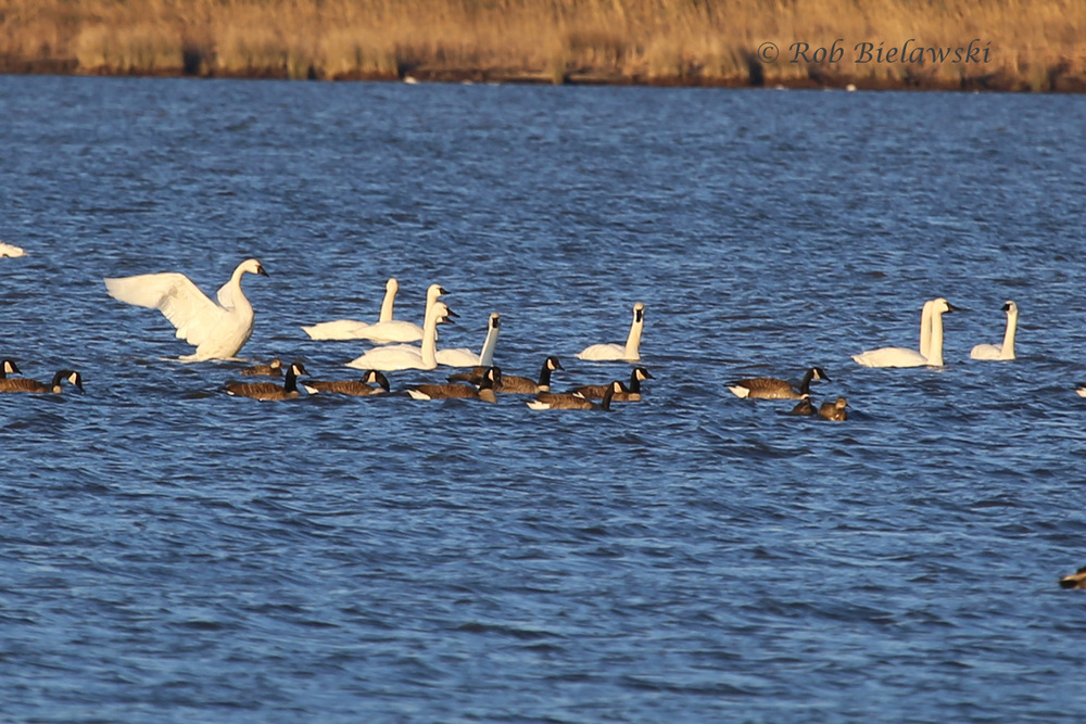 Canada Geese & Tundra Swans