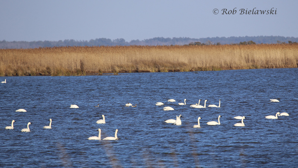 Tundra Swans & Northern Pintails