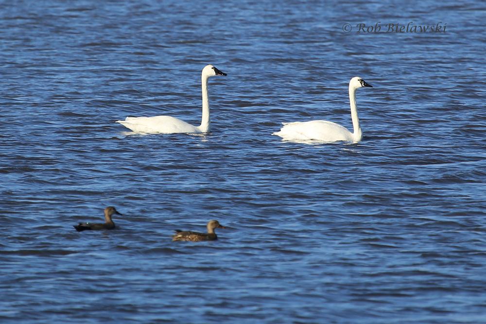 Gadwalls & Tundra Swans