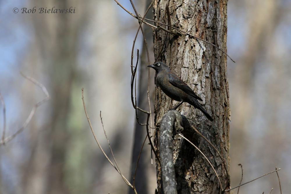My first Rusty Blackbird, a new life bird, taken in the South Run Stream Valley in Fairfax County near Lorton.