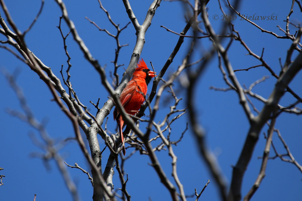 Male Northern Cardinal singing from the treetops at Norfolk Botanical Gardens.
