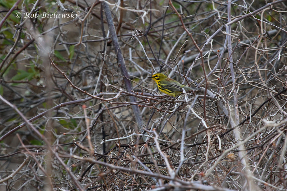 My first colorful migrant of the season, a beautiful male Prairie Warbler at Back Bay NWR.