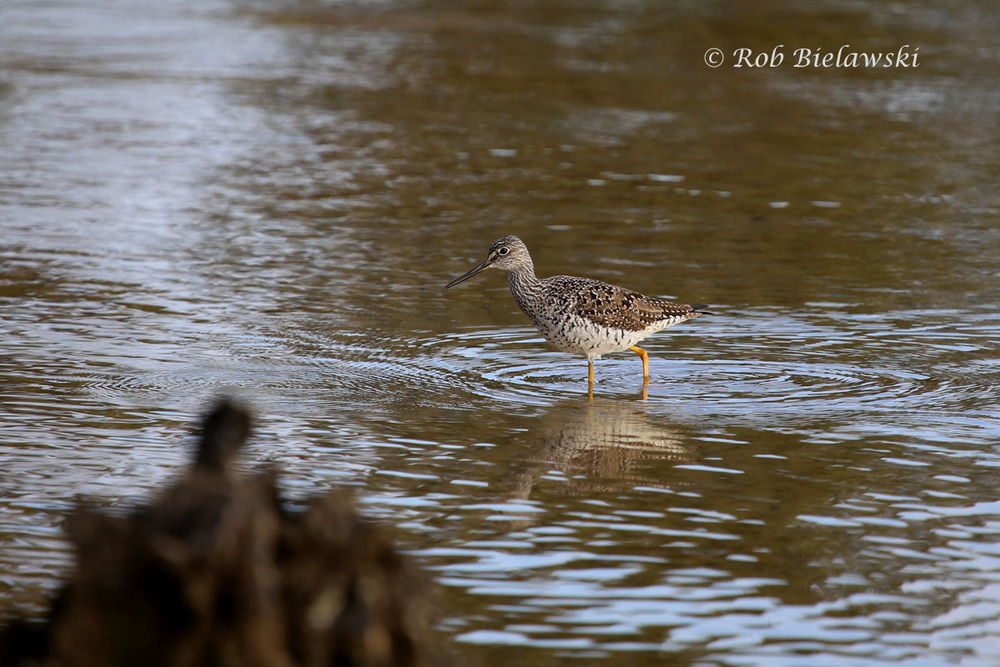 A Greater Yellowlegs in the shallows of Broad Bay.