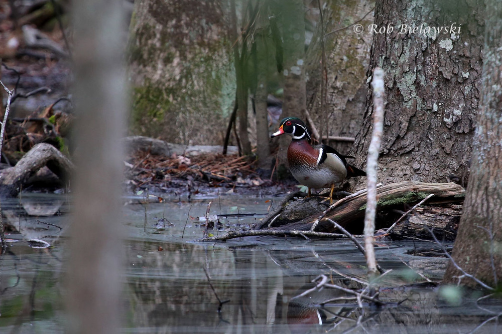 My first photographs of a Wood Duck in First Landing SP!