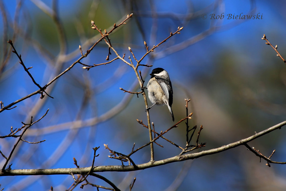 Carolina Chickadee hanging out in the trees at First Landing SP.