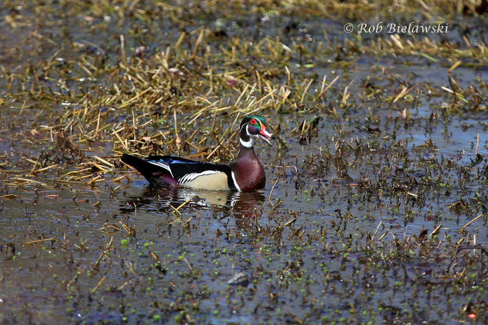 Male Wood Duck showing off his new brightly colored breeding plumage! Taken on a small freshwater lake in the Kings Grant area of Virginia Beach.