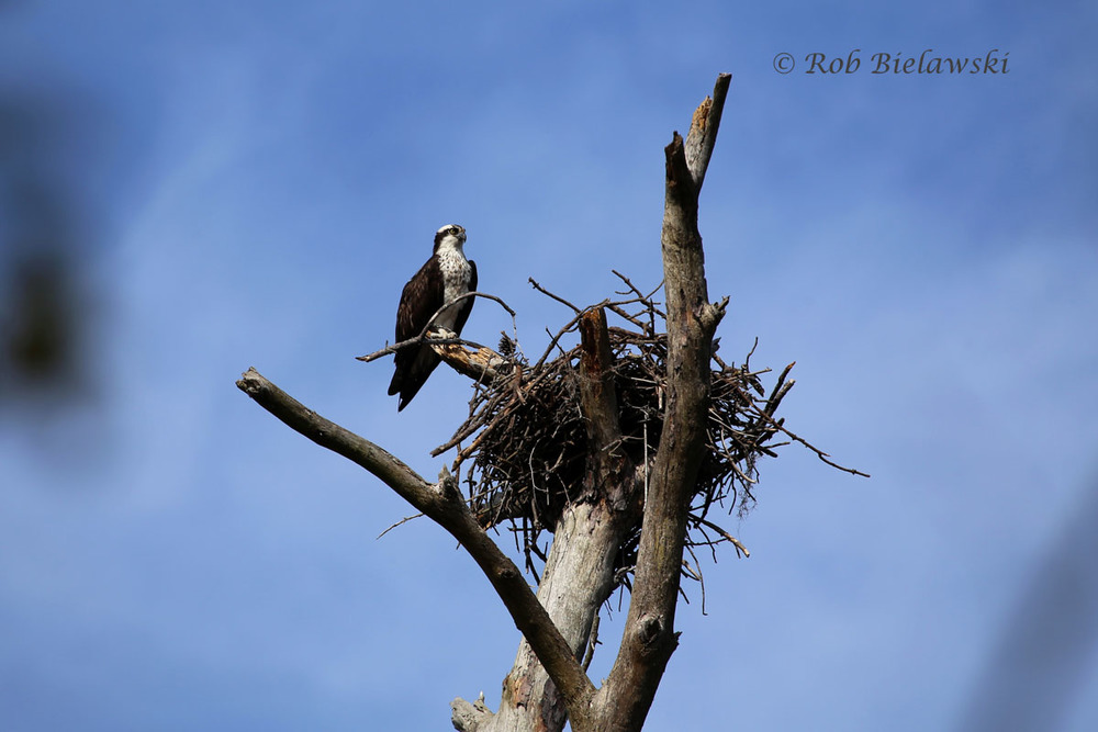 The Ospreys are back to Hampton Roads! This is one of the many, many nests in First Landing State Park.