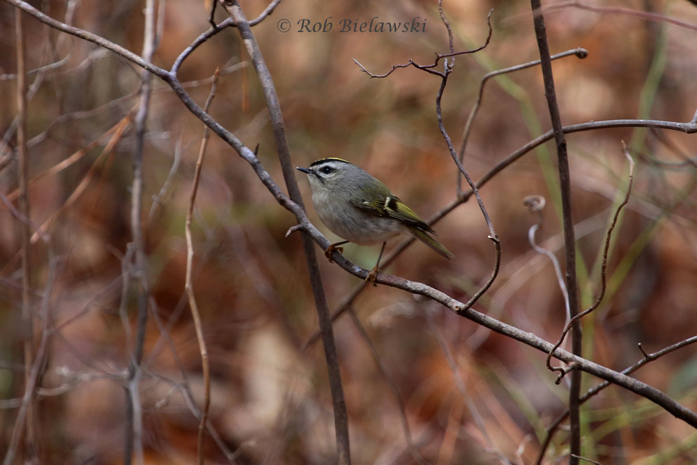 Golden-crowned Kinglet along the Osprey Trail at First Landing State Park.
