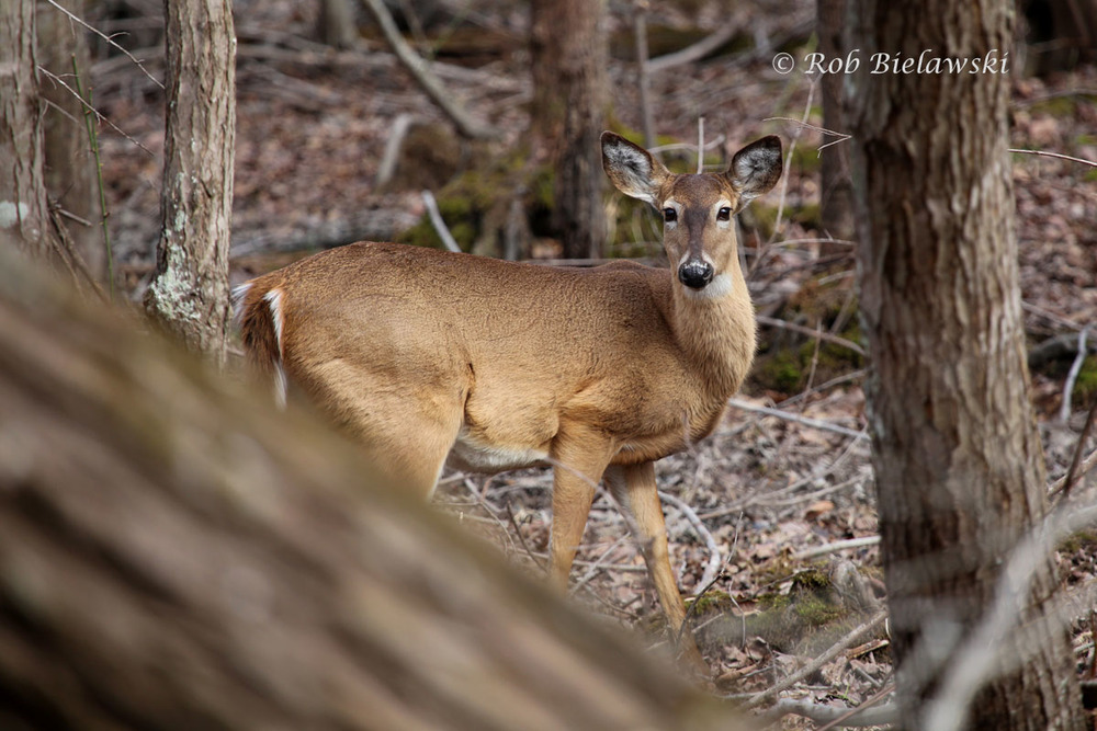 White-tailed Deer just outside the wetlands in the southern half of the Greensprings Interpretive Trail loop.