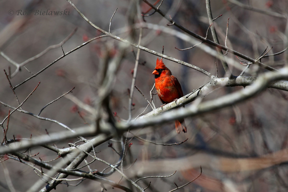 Northern Cardinal along the Powhatan Creek Trail.