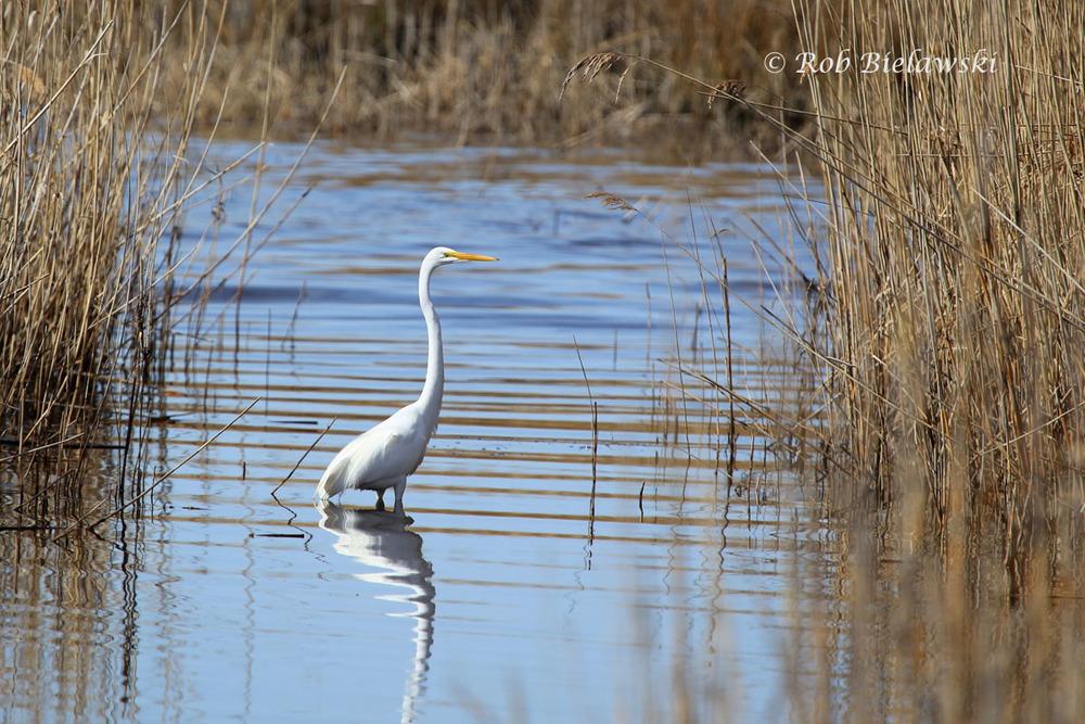 Great Egret in the tidal marsh near the Little Island Kayak Launch.
