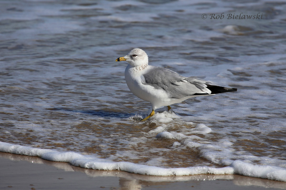 Ring-billed Gull in the surf at Back Bay NWR, Virginia Beach.