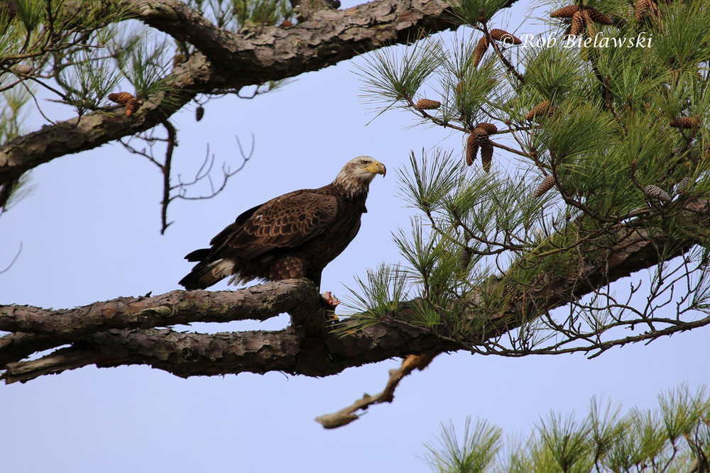 Subadult Bald Eagle (note head not all white) eating a large fish in a pine tree at First Landing State Park.