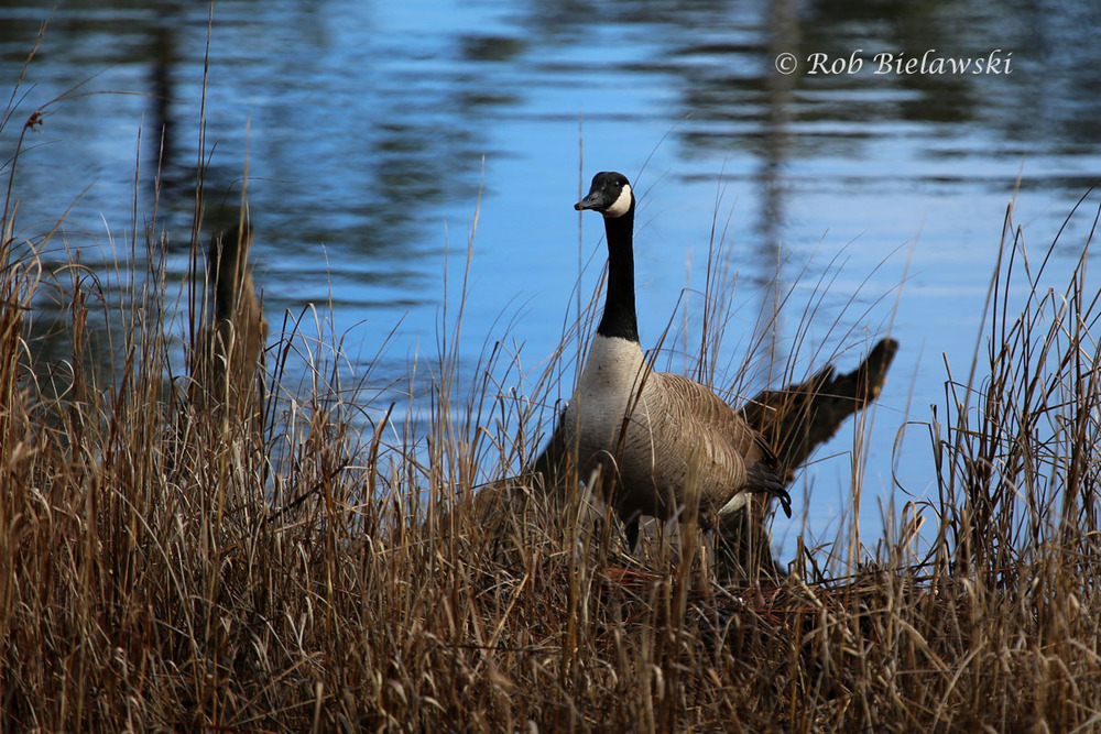 Canada Goose at First Last State Park.