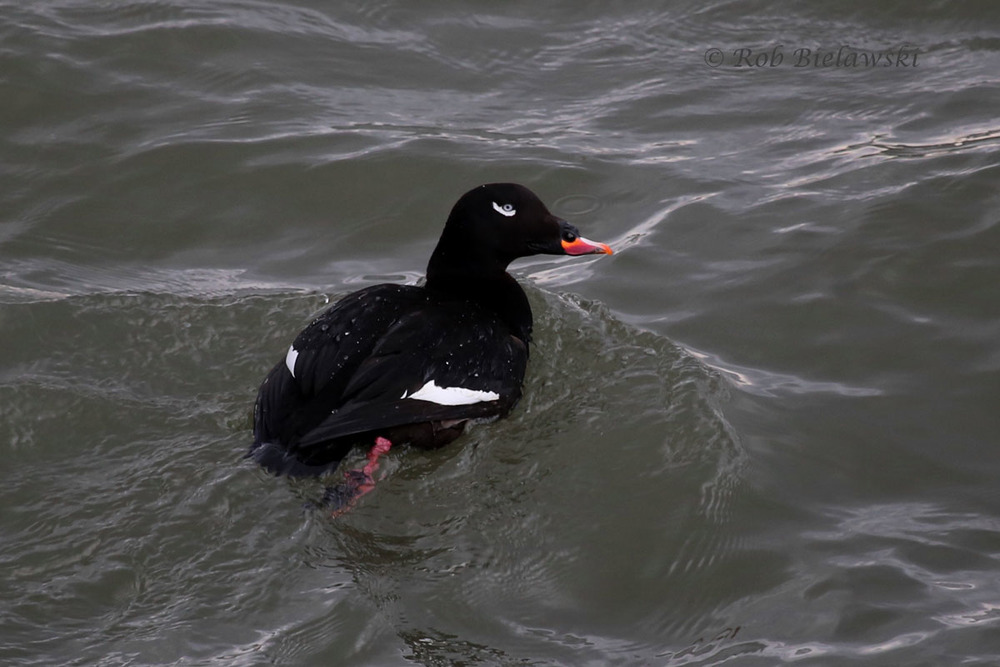 Male White-winged Scoter in fresh breeding plumage swimming beneath the Bonner Bridge at Oregon Inlet.