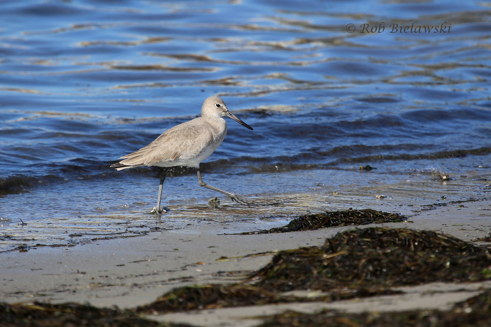 A Willet strolling the cove's beach in search of food at Oregon Inlet.