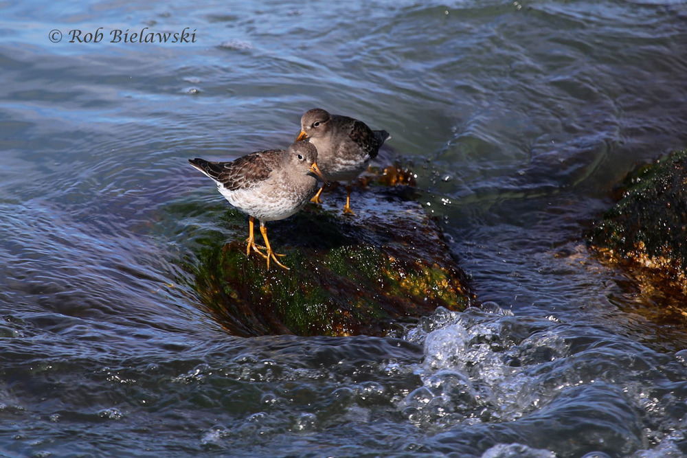 A pair of Purple Sandpipers watching the currents roll by their rock in Oregon Inlet.