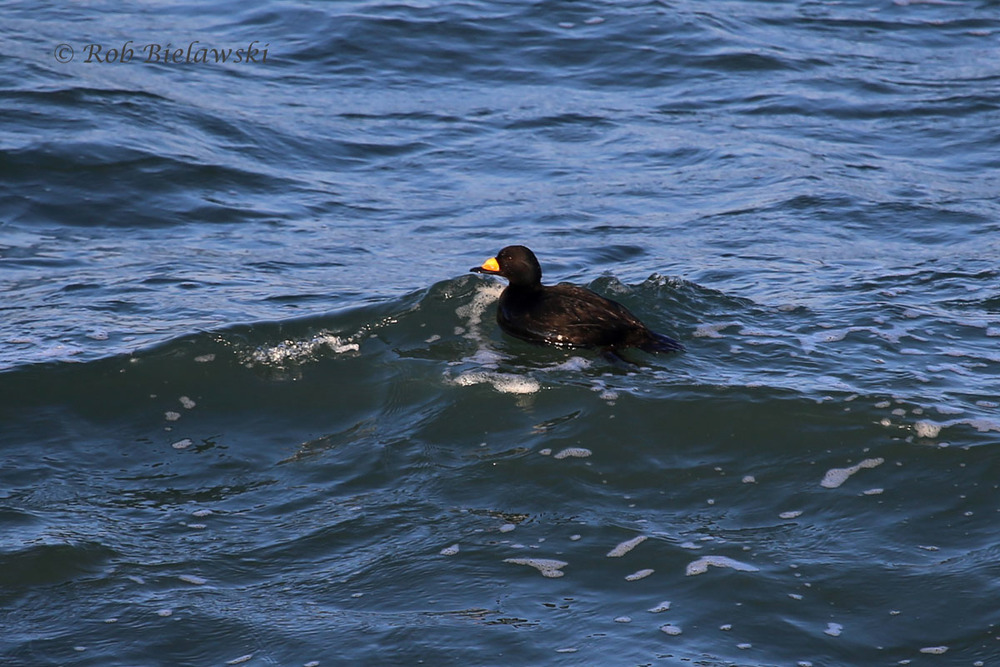 Adult male Black Scoter surfing the waves off South Thimble Island's northeast shoreline.