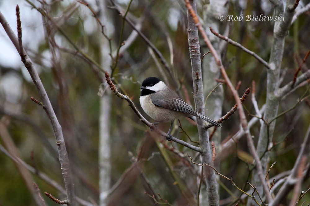 Carolina Chickadee stoping to pose in a shrub along the east dike roadway.