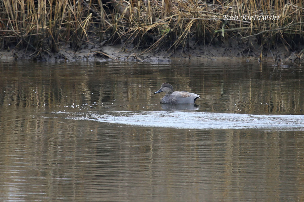 Gadwall on the storm water detention pond at Pleasure House Point.