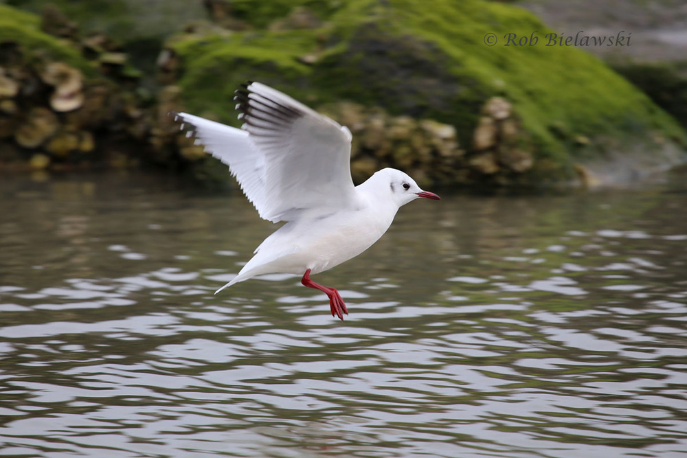 This is one of the 3 Black-headed Gulls that has been spotted this winter at East Beach.