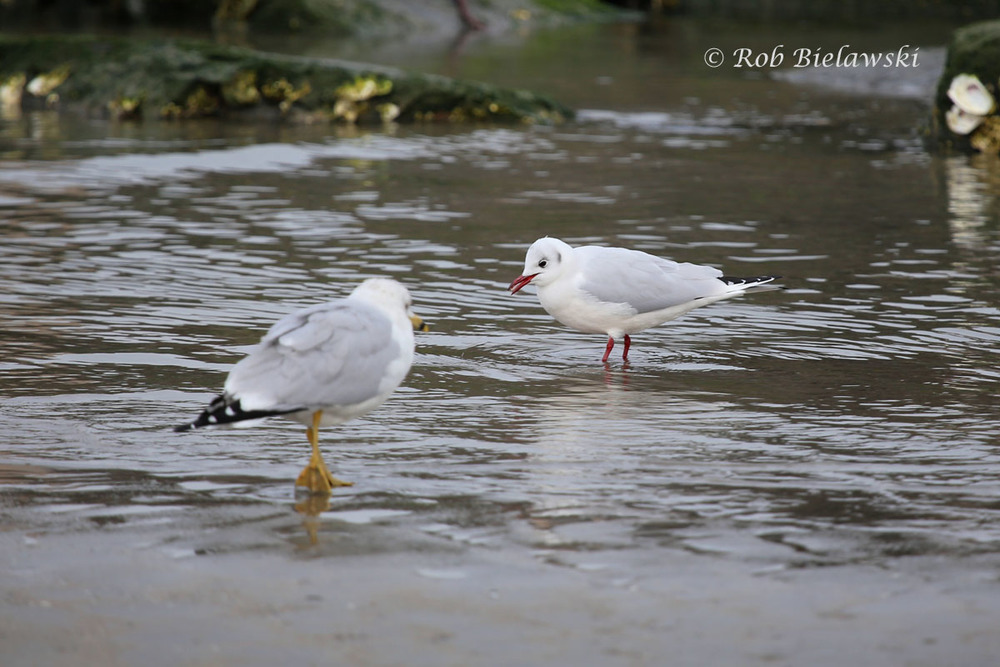 Showing off the size differential of a Ring-billed Gull (left) & a Black-headed Gull (right).
