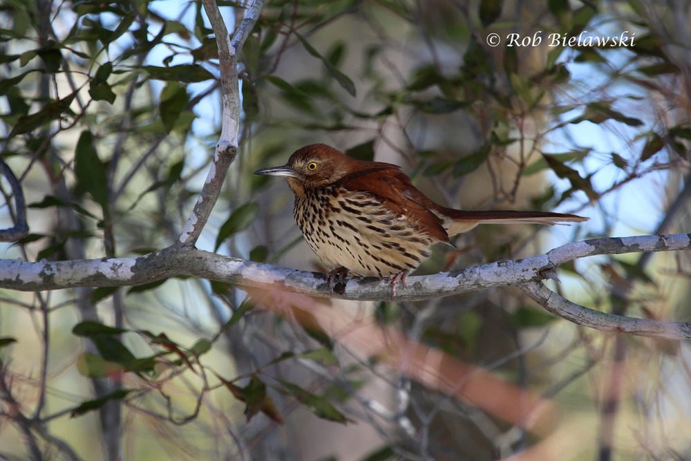 Brown Thrasher pausing for a brief moment in the underbrush, before flying off along the Cape Henry Trail.