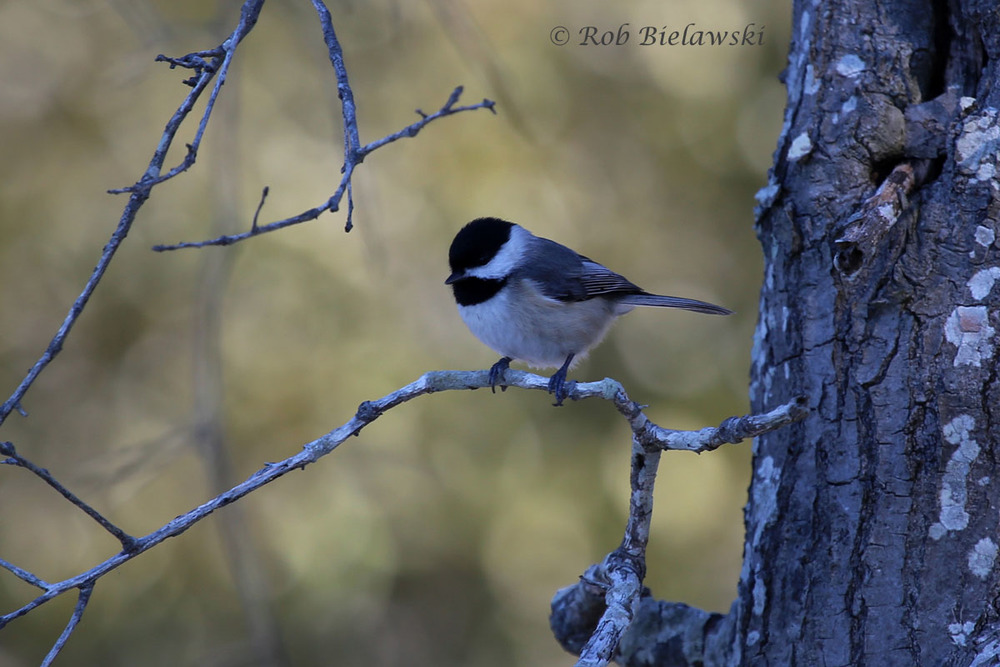Carolina Chickadee hopping from branch to branch along the Osprey Trail.