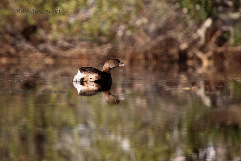 Pied-billed Grebe taking refuge on Lake Susan Constant during the cold weather.
