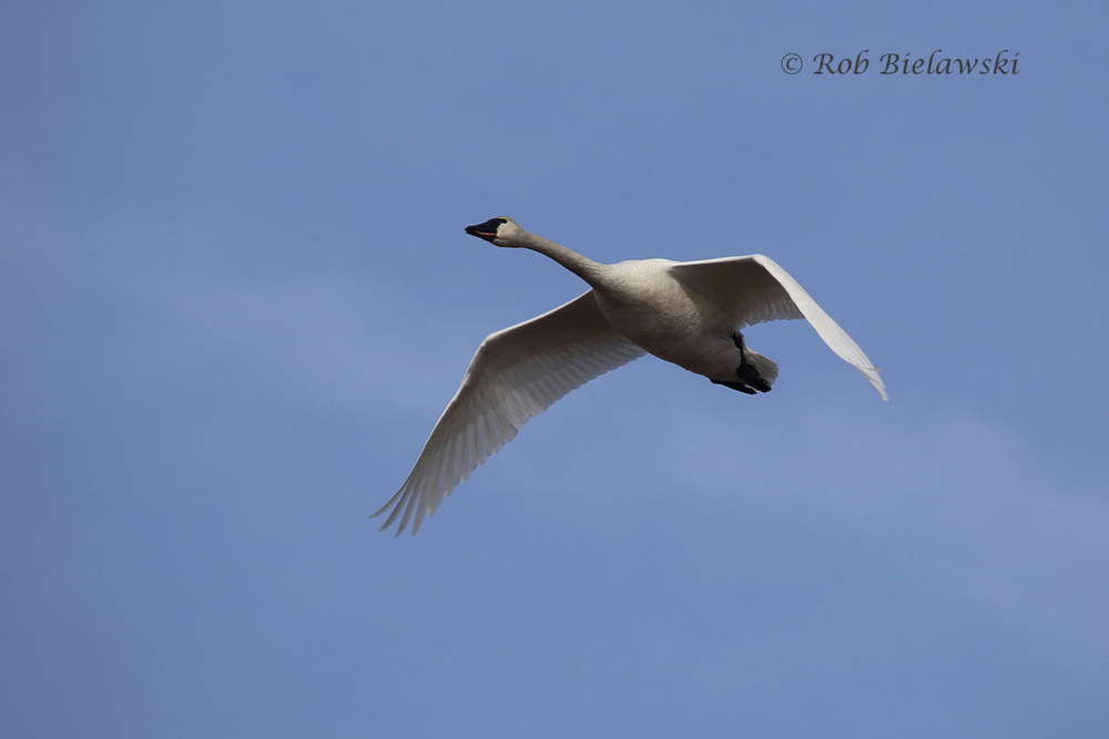 Tundra Swan flying overhead as the sun finally broke through the fog at the end of the Bay Trail.