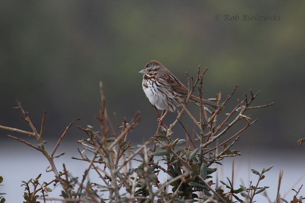 Song Sparrow perched atop some vegetation along the gravel roadway on the east side of Pool D.