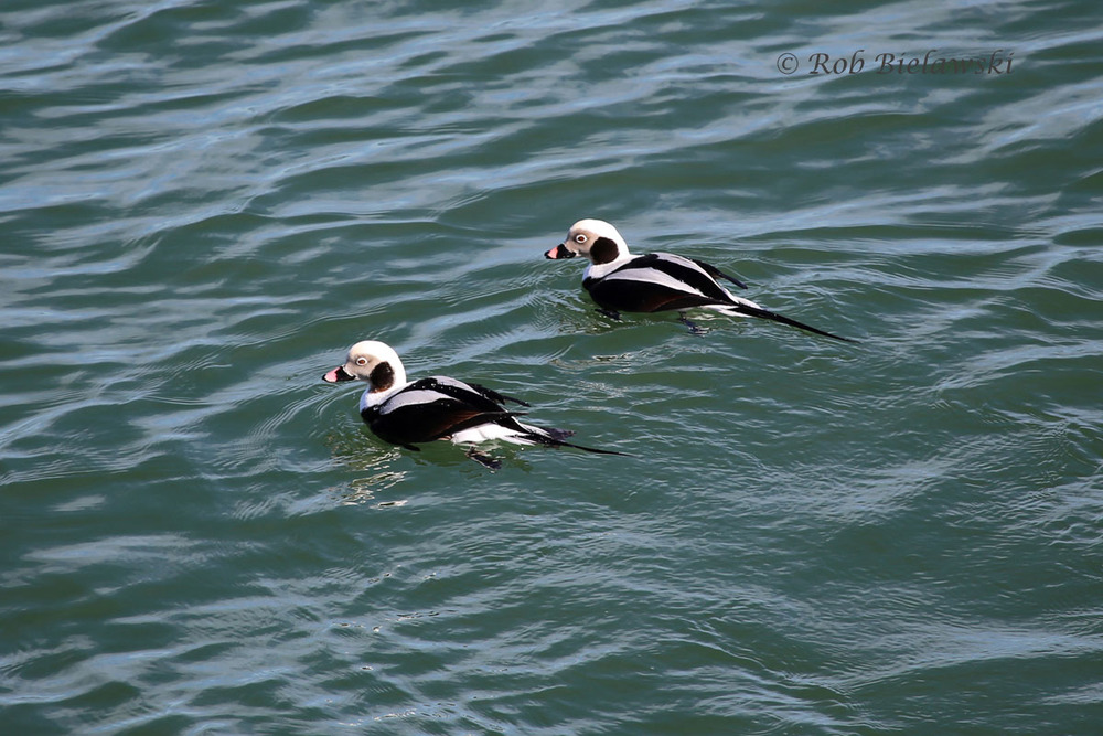 A pair of male Long-tailed Ducks close in to shore along the northeast corner of South Thimble Island.