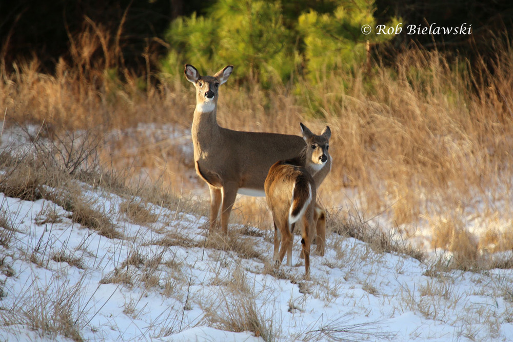 A pair of White-tailed Deer pose for photographs along the entrance road to Kiptopeke State Park.
