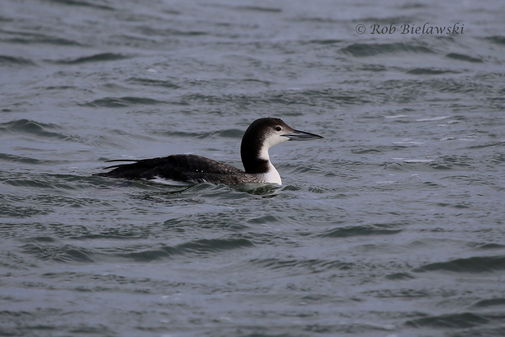A wintering Common Loon rides the gentle waves of the Atlantic Ocean up & down.
