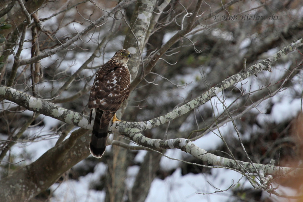 A juvenile Cooper's Hawk poses from it's perch alongside the entrance road to Back Bay NWR.