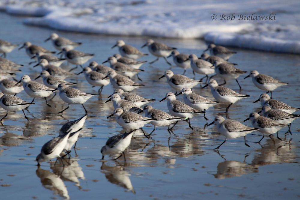 One of several flocks of Sanderlings that was seen feeding on the beach as the waves uncovered invertebrates as they swept up and down the coastline. The beautiful weather helped provide reflections on the moist sand for this shot.