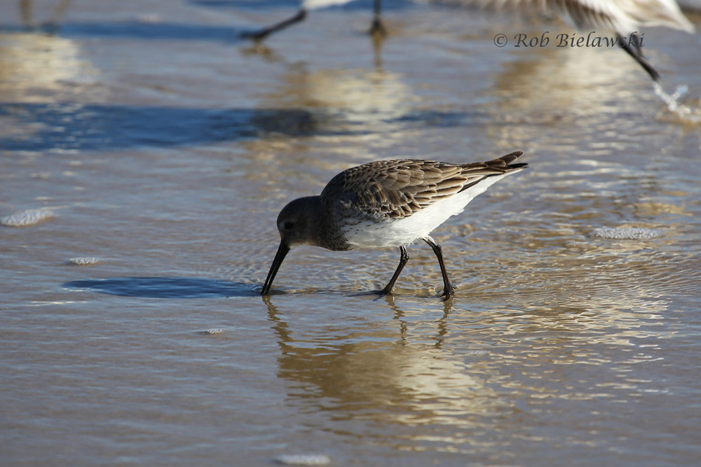 Mixed in with a large flock of Sanderlings, this Dunlin presents a brownish backside, as opposed to the white/gray/black color scheme of the Sanderlings. Also, Dunlins have a back toe which can be seen here, while Sanderlings to not have this hind toe.