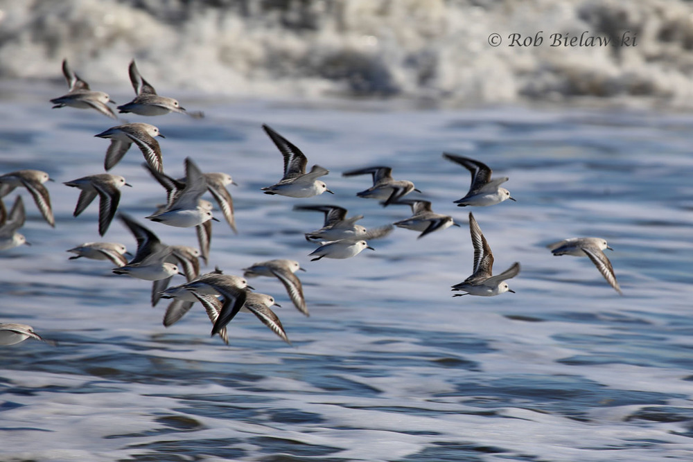 Flock of Sanderlings heading off into to find a more secluded piece of beachfront property.