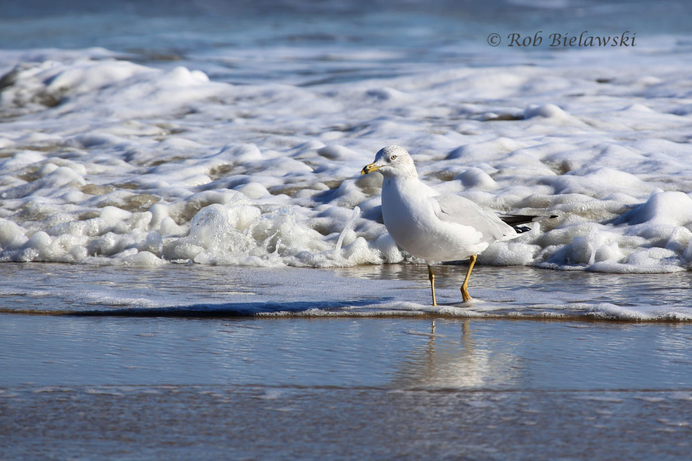 Ring-billed Gull in the surf zone on a beautiful sunny day at Back Bay.